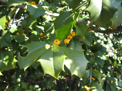 image Ilex opaca 'Xanthocarpa' yellow berries