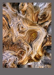 Roots of a Dearly Departed Tree (Pictoscribe) Tags: park 2004 pine nevada great basin national trunk bristlecone pinus pinuslongaeva pictoscribe longaeva greatbasinbristleconepine