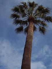 Palm tree (.-*Sarah*-.) Tags: turkey türkiye istanbul İstanbul turkije beşiktaş dolmabahçe sarayı
