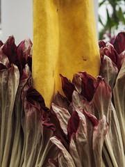 P4240512 (ejewett87) Tags: macro corpse plant