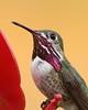 Calliope Hummingbird (jlcummins - Washington State) Tags: calliopehummingbird bird backyardbirds yakimacounty washingtonstate hummingbird