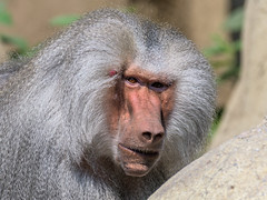 Mono (ruimc77) Tags: zoo zoológico chapultepec ciudad méxico cdmx df mexico city animal life nature naturaleza vida natureza zoologico nikon d810 nikkor afs 200500mm f56e ed vr monkey macaco mono ape face cara rosto rostro