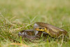 Zamenis longissimus (Jérémy Thomas Photo) Tags: serpent snake reptile esculape couleuvre animal life vie faune fauna reptilian nikon d7200 90mm ngc day