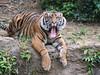Sumatran tiger / スマトラトラ (kiyoto.hamano) Tags: d500 zoo zoorasia ズーラシア sumatrantiger スマトラトラ