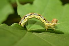 Erannis defoliaria - caterpillar гъсенца _DSC0745 (Me now0) Tags: micronikkor40mm nikond5300 caterpillar гъсенца erannisdefoliaria