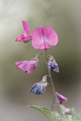 Orchid time in the country I ; Pink Orchid (oskaybatur) Tags: orchid wildorchid oskaybatur 2018 nature may spring mayıs ilkbahar pentaxk3 pentaxart justpentax dof bokeh türkiye trakya smcpentaxdal55300mmf458ed wildflower kırçiçekleri çayırdere turkey turkei