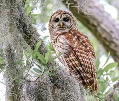 Barred Owl (backyardzoo) Tags: barred owl