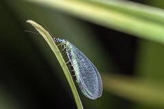Delicate Lace - _TNY_1723 (Calle Söderberg) Tags: macro canon canon5dmkii canonef100mmf28usmmacro canoneos5dmarkii 5d2 flash meike mk300 glassdiffusor insect guldögonslända lacewing lace bluelacewing chrysopa perla neuroptera chrysopidae chrysopinae blue green grass f19