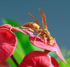 Yellow Paper-Wasp / Polistes olivaceus (vic_206) Tags: avispa seychelles yellowpaperwasp polistesolivaceus