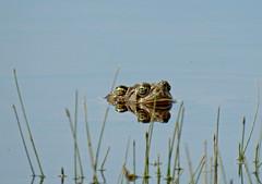 American Bullfrogs (Boulder Flying Circus Birders) Tags: americanbullfrog lithobatescatesbeianus americanbullfrogcolorado americanbullfrogboulder wildbirdboulder wildbirdcolorado wildbirdcompany formerwildbirdcenter notwildbirdsunlimited birdseed birdwalk saturdaymorningbirders cherryvaleopenspace cityofboulderopenspaceandmountainparks boulder colorado janebaryames