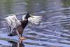 Atterrissage - Landing (bboozoo) Tags: nature animal wildlife duck canard colvert mallard canon6d tamron150600
