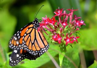 2078e2 Monarch on Pentas