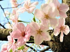 Cherry blossoms (Jeong Kab Cheol) Tags: nikon 벚꽃 봄 cherry blossom cherryblossom