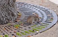 mouse (poludziber1) Tags: sirolo mouse animal street marche italy urban