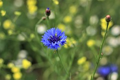 Centaurea Cyanus (Deniel T) Tags: flor flowers centaurea cyanus azul primavera moralzarzal sierra madrid