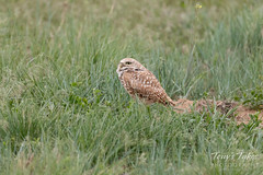 Burrowing Owl keeps watch on a passing hawk