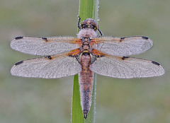 Four-spotted Chaser (Roger H3) Tags: insect dragonfly odonata chaser four spotted
