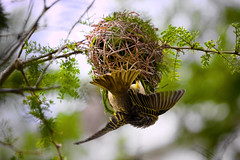 Cape Weaver Building nest (Arranion) Tags: bird birds nest yellow cape weaver wings action feathers twigs weaved tree nature wildlife animal canon 40d eos 70200mm f4 l