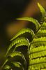 Capter la lumière (mrieffly) Tags: fougères ombresetlumières canoneos50d bokeh ciselures
