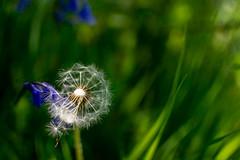 _DSC.0103  - Time flies (SWJuk) Tags: wensley england swjuk uk gb britain english yorkshire yorkshiredales northyorkshire dales wensleydale 2018 may2018 spring nikon d7100 nikond7100 35mm riverure boltonestate grass dandelion bluebells