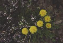 Dandelion (_Emerald_Photography_) Tags: dandelion spring nature scotland yellow