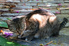 Key West (Florida) Trip 2017 7690Ri 4x6 (edgarandron - Busy!) Tags: florida keys floridakeys keywest cat cats tabby tabbies feral
