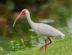 05-21-18-0019141 (Lake Worth) Tags: animal animals bird birds birdwatcher everglades southflorida feathers florida nature outdoor outdoors waterbirds wetlands wildlife wings