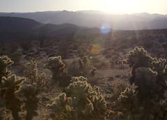 Ocotillo cholla sunset (brian.magnier) Tags: california desert nature landscape sunset light cactus ocotillo wide