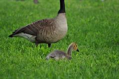 Canada Geese (David.Sankey) Tags: birding birds birdingnyc rooseveltisland eastriver newyorkcity newyork nycbirding queens canadageese canadagoose