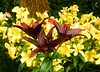 Purple Trio (Stanley Zimny (Thank You for 30 Million views)) Tags: flower bronx botanical garden ny macro purple yellow lily