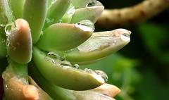 Raindrops (Lesley A Butler) Tags: alphington australia closeups foliage garden nature victoria yarra