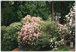Rhododendron Garden at Bowen Park - 4 (of 4) - Contax T2 with Carl Zeiss Sonnar 1:2.8 38 mm T* & Fuji ISO 400 Film
