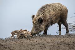Newly born (Fotos4RR) Tags: wildpig wildboar pig wildschwein schwein mother mutter newlyborn geradegeboren jungtier frischlinge piglets tier animal tiere animals aufpassen takingcare nature several viele