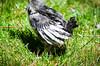 Baby Chickens-24 (sammycj2a) Tags: chick chickens backyardfarm farm chicks pullets straightrun backyard nikon nikkor lightroom