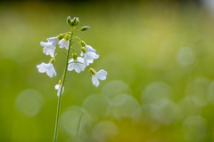 Trioplan 100 (michel1276) Tags: wiese wiesenschaumkraut pflanze flower spring frühling bokeh bokehlicious bokehful trioplan10028 trioplan meyergörlitz meyeroptik vintagelens