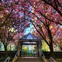 Blossoming (Pennan_Brae) Tags: yvr vancity vancouverbc vancouver springtime spring cherryblossomtree tree trees blossoms blossom cherryblossom cherryblossoms