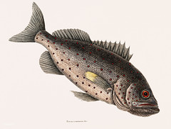 Rockfish (Perca venenosa) from The natural history of Carolina, Florida, and the Bahama Islands (1754) by Mark Catesby (1683-1749).