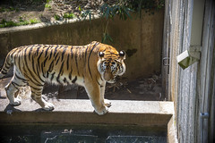 National Zoo 3 May 2018  (334) Tiger (smata2) Tags: tiger tigre smithsoniannationalzoo zoo zoosofnorthamerica itsazoooutthere animals zoocritters bigcats flickrbigcats