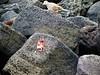 Crab dinner (thomasgorman1) Tags: lava magma lavarock dove bird crab hawaii canon birds nature food island shore coast wildlife