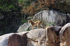Lioness On Rock Outcropping (Susan Roehl) Tags: londoloziprivatereserve southafrica southafrica2015 nearkrugernationalpark opentokruger nofences lioness outcropping animal mammal predator carnivore pantheraleo sabisandsprivategamereserve londolozimeansprotectingit containsbigfive hasfivecamps sueroehl photographictours naturalexposures pentaxk3 sigma150500mmlens handheld slightlycropped rocks trees outdoors bushes rockformations ngc coth5