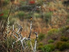 a cute finch (panoskaralis) Tags: goldfinch finch bird zoom nature outdoor cute mountains lesvos lesvosisland mytilene greece greek hellas hellenic nikon nikoncoolpixb700