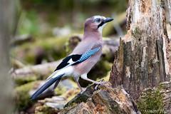 Jay bird (richardelliot) Tags: jay jaybird nikon nikond500 nikon200500 bird colours richard elliot