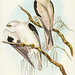 Milvus insures, Gould (Square-tailed Kite) Illustrated by Elizabeth Gould (1804–1841) for John Gould's (1804-1881) Birds of Australia (1972 Edition, 8 volumes). One of the most celebrated publications on Ornithology worldwide, Birds of Australia introduce
