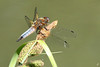 Libellule déprimée_Libellula depressa (nicéphor) Tags: wildlife libellules odonates insectes tamron150600mm eos7d canon nature faune
