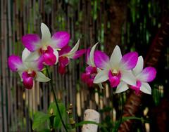 """orquideas (nora4santamaria) Tags: flores orquideas flower """"quintaflower"""