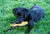 "5/12 A - Dunkel ""my helper' (d2roberts) Tags: labrador labradorretriever green grass shoe naughty dog 12monthsfordogs18"
