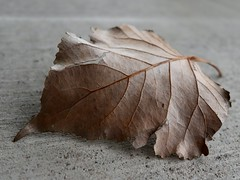 A Gift from a Friend (Robert Cowlishaw (Mertonian)) Tags: concrete cement leaf springleaf survivor mertonian bypl backyardphotolab curvy veins dry canon powershot g1x mark iii canonpowershotg1xmarkiii macro edgy jagged crispy