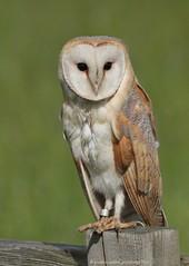 Barn Owl 18pg6968 (Pauline & Ian Wildlife Images) Tags: barnowl tytoalba