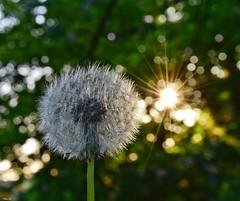 Dandelion seed in the evening light! (Nina_Ali) Tags: dandelionseed flower sunburst bokeh depthoffield dandelionsunburst eveninglight backlit sundaylights sunflare sunburstandbokeh nature flora 7dwf