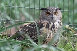 #buho #owl #eyes #ojos #lugo #galicia #marcellezoo #marcellenatureza #cautiverio #rehabilitacion #fauna#nikkor #nikkor200500 #zoom #d500